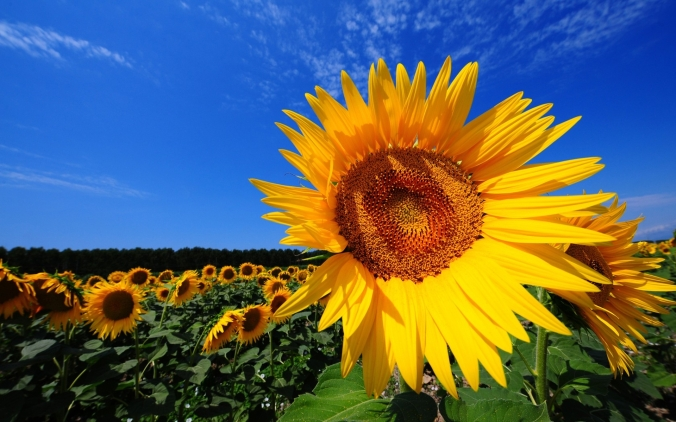 sunflower-fields.jpg